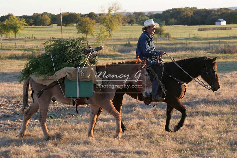 Bringing home the Christmas tree western style on mule and horseback