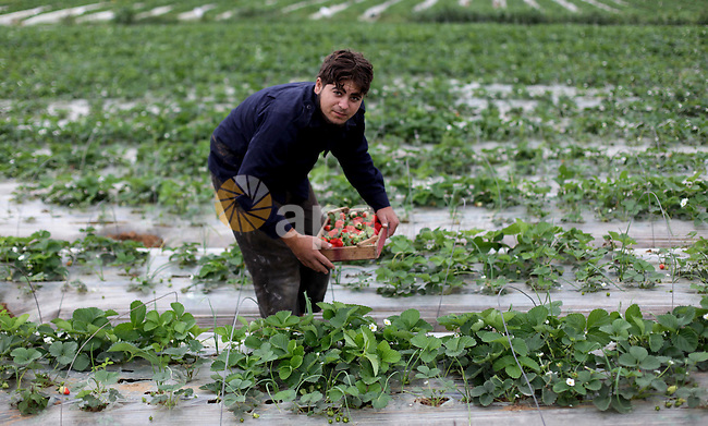 A Palestinian farmer harvests strawberries from a field in Beit Lahia, in the northern Gaza Strip, on December 10, 2013. Some 250 acres of strawberry crop are cultivated in these fields yielding some 2500 tons of fruit, some of which will be exported to European countries, helping the stagnant economy of the enclave. Photo by Ashraf Amra