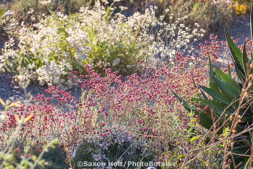 Eriogonum grande v. rubescens - Red Buckwheat California native plant flowering in Bancroft Garden