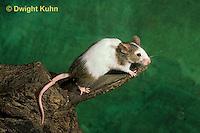 MU60-038z  Pet Mouse - exploring