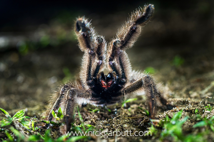 Colombian Pink-toed Tarantula (Avicularia metallica) in aggressive / defensive posture on forest floor. Paujil Nature Reserve, Magdalena Valley, Colombia. Endemic