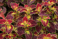Soleonstemon coleus 'Florida City, red and yellow foliage annual plant