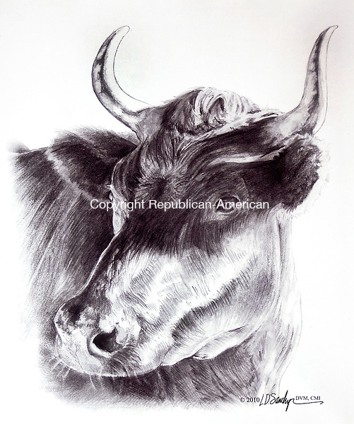 WOODBURYCT.-28 NOVEMBER 2010 110410DA03-  Dr. Lauren Sawchyn, a Woodbury native who is now a veterinarian and a board-certified medical illustrator drew this portrait of a steer named Ralph, when the steer was a patient at Cornell University.<br /> Darlene Douty Republican-American