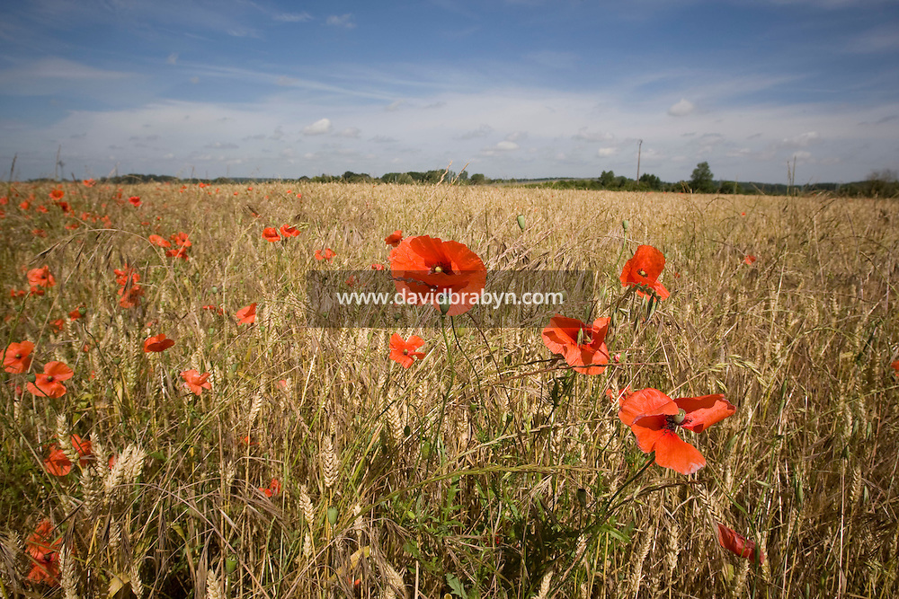 View of poppies in a field near Amboise, France, 26 June 2008.