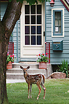 A spotted whitetail fawn stands in a yard in Missoula, Montana