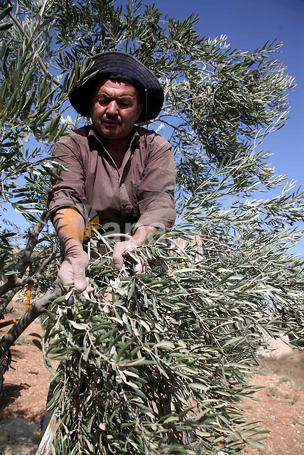 Israeli soldiers stand guard (not seen) as a Palestinian farmer harvests olives near a Jewish settlement outside the West Bank city of Hebron on October ,19 2010. Photo by Najeh Hashlamoun