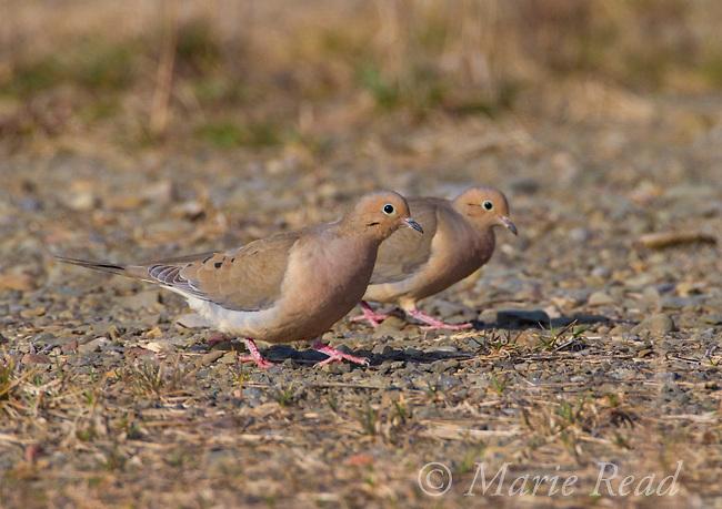Mourning Dove (Zenaida macroura), pair walking together on the ground, spring, New York, USA