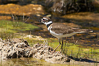 "The Killdeer (Charadrius vociferus) is a medium-sized plover. These birds will frequently use a distraction display (""broken-wing act"") to distract predators from their nests. This involves the bird walking away from its nesting area holding its wing in a position that simulates an injury and then flapping around on the ground emitting a distress call."