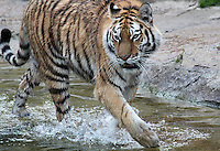 Stock image of a Siberian tiger walking through water in Tier park, Berlin.<br />