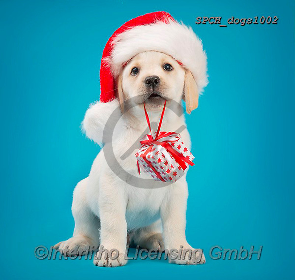 Xavier, CHRISTMAS ANIMALS, WEIHNACHTEN TIERE, NAVIDAD ANIMALES, photos+++++,SPCHDOGS1002,#xa#