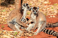 Ring-tailed Lemur (Lemur catta), mother nursing her young, and a female adult, Berenty Reserve, Madagascar, Africa