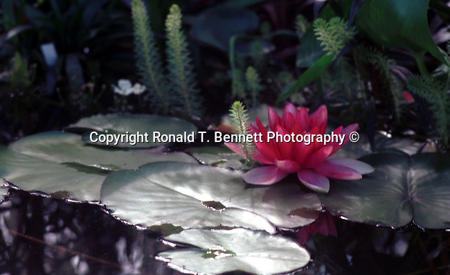 Red water lilies on pond Commonwealth of Virginia, Fine Art Photography by Ron Bennett, Fine Art, Fine Art photography, Art Photography, Copyright RonBennettPhotography.com ©