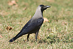 House Crow, Corvus splendens, Keoladeo Ghana National Park Rajasthan, India, formerly known as the Bharatpur Bird Sanctuary, UNESCO World Heritage Site.India....