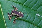 Amazon Harlequin Toad (Atelopus pulcher) in Peruvian Amazon