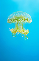 435550002 spotted jellyfish mastigias papua float and swim in their enclosure at the long beach aquarium in long beach california - species is native to the southwestern indo-pacific ocean especially the ocean around palau