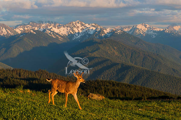 Coastal Black-tailed Deer Buck or Columbian black-tailed deer buck (Odocoileus hemionus columbianus) in subalpine meadow.  Summer, Olympic National Park, WA.