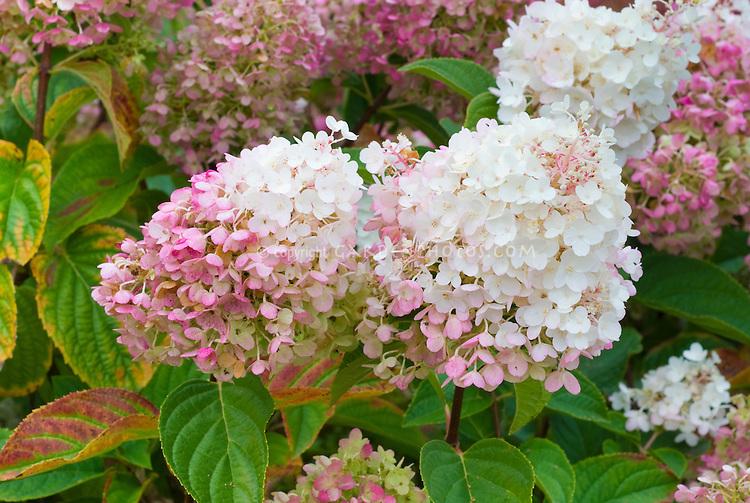 hydrangea paniculata aka renhy first editions - Vanilla Strawberry Hydrangea