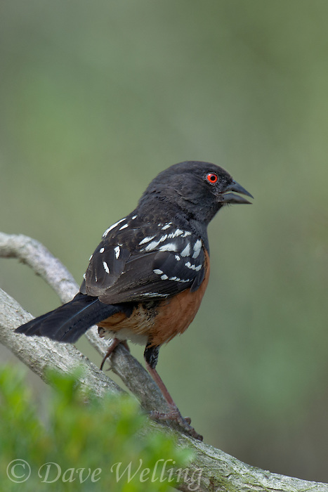 582260008 a wild southern california subspecies of the spotted towhee pipilo maculatus montanus megalonyx perches on a branch in open space protected habitat los angeles county california