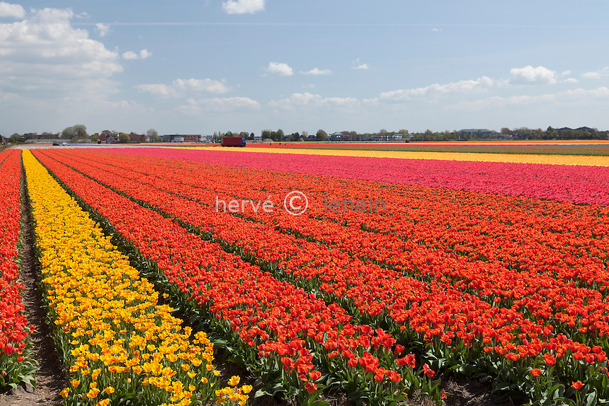 "Hollande, région des champs de fleurs, Lisse, ici champs de tulipes // Holland, ""Dune and Bulb Region"" in April, Lisse, here, fields of tulips."