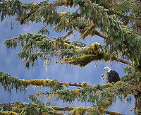 A Bald Eagle perches amidst the mossy trees of the Great Bear Rainforest.