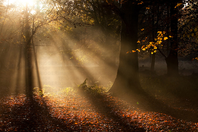 Early mornig sunlight shining through trees in woods in autumn