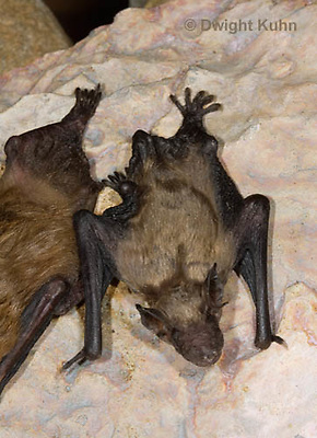 MA20-698z  Big Brown Bat 4 week old young,  Eptesicus fuscus
