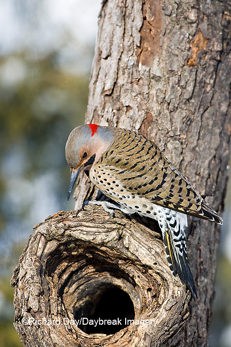 01193-01601 Northern Flicker (Colaptes auratus) male on dead tree in winter, Marion Co, IL