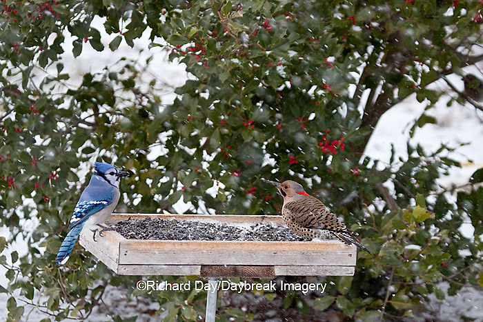 00585-038.16 Blue Jay (Cyanocitta cristata) and male Northern Flicker (Colaptes auratus) at bird feeder in winter, Marion Co., IL