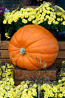 Giant pumpkin surrounded by yellow flowers, Vancouver, BC, Canada
