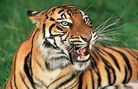 Sumatran tiger, Panthera tigris sumatrae, adult, critically endangered species