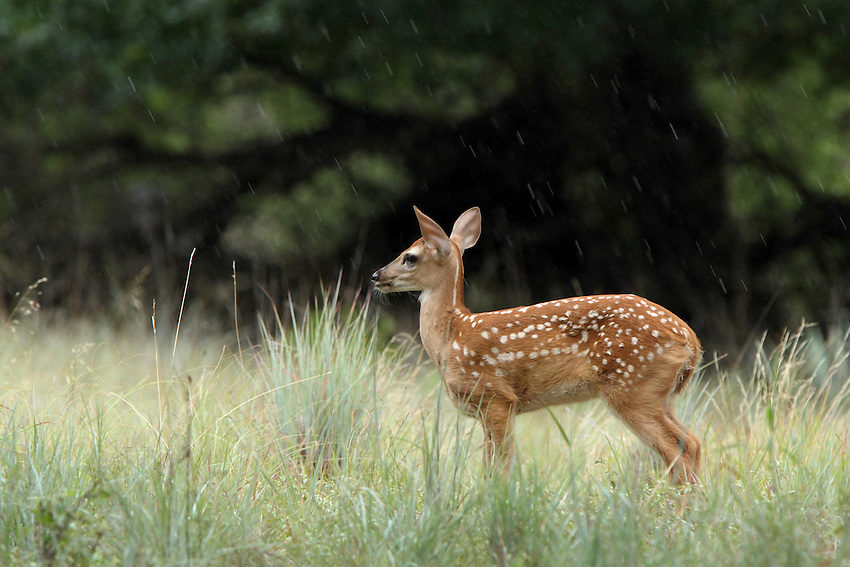 Whitetail fawn in the rain.