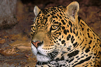 650359039 portrait of a wildlife rescue jaguar panthera onca at a wildlife rescue facility - species is native to south america mexico central america and has been spotted in texas and arizona - species is endangered