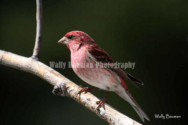 Birds of North America, <br />