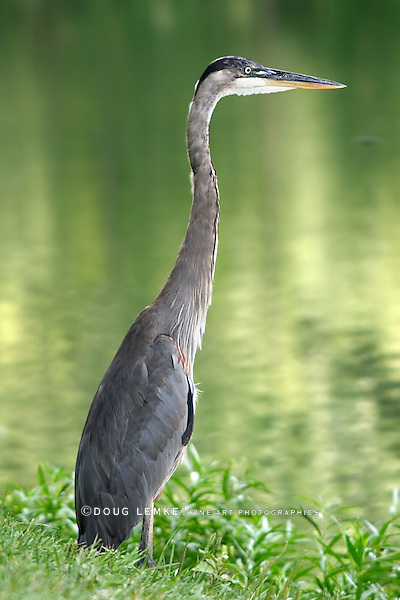A Large Bird, The Great Blue Heron, Standing In The Grass By A Lake, Ardea herodias
