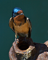 The Barn Swallow has a fairly large range, reaching up to 10 million square kilometers. The population of the Barn Swallow is thought to be around 190 million individual birds. The Barn Swallow is native to numerous countries throughout the world. At the current time there is not any concern that the population of this bird species will face serious decline during the next few years. The Barn Swallow has a Least Concern rating due to its population and size around the world.California Central Coast, San Luis Obispo
