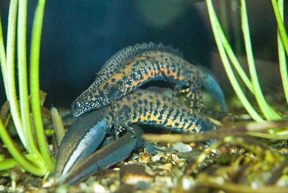 Grote watersalamander (Triturus cristatus)