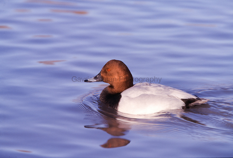 Canvasback ( Aythya valisineria)