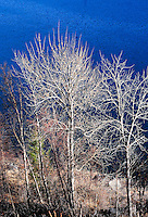 Nude cottonwood trees stand watch over Lake Koocanusa in Montana