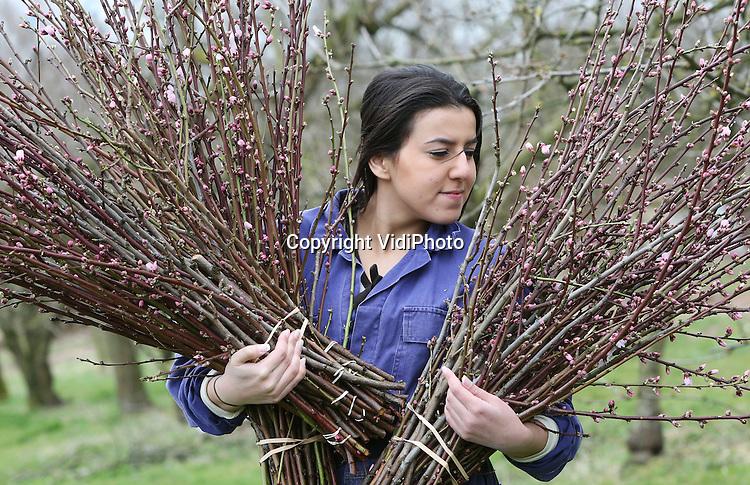 Foto: VidiPhoto<br /> <br /> HEESSELT &ndash; Takkewerk. De 22-jarige Hanane Bousslaham moet maandag flink aan de bak bij de Betuwse fruitteler Fausto van Houwelingen in het Gelderse Heesselt, zo vlak voor Pasen. De mooiste bloesemtakken worden van de bomen geknipt voor de bloemenveiling in Aalsmeer. Bloesemtakken zijn een typisch seizoenproduct dat sterk afhankelijk is van weer en temperatuur. Door het uitblijven van strenge nachtvorst is de kwaliteit van de bloesemtakken dit jaar beter dan ooit. En met Pasen in aantocht is de vraag enorm. Dit jaar zullen naar schatting 3,7 miljoen bloesemtakken via de bloemist de weg naar de huiskamers vinden, iets meer dan in 2014 (3,6 miljoen). De populairste fruitbloesem is die van de kers (Prunustakken). Bij Van Houwelingen is de week voor Pasen de drukste week.