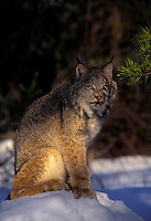 LYNX sitting in the shadows at sunrise..Winter. Rocky Mountains..(Felis lynx canadensis).