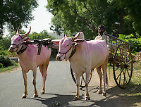 A slice of rural life in a village in India. Bullock Cart