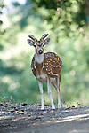 Spotted Deer or Chital, Axis axis, in woodland, young male, Corbett National Park, Uttarakhand, Northern India.India....