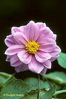 HS45-004b  Dwarf Dahlia - fully opened flower (bud opening seq. HS45-002c,003d,004b) - Dahlia spp.
