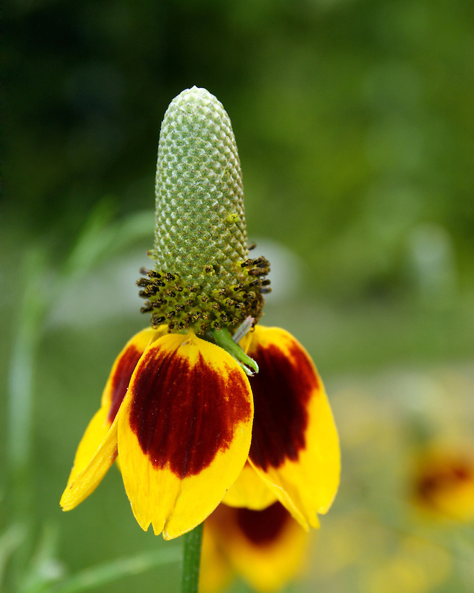 Mexican Hat (Ratibida columnaris)
