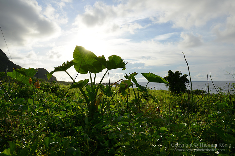 Orchid Island (蘭嶼), Taiwan -- Yam leaves in the sunlight.
