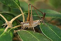 Kleine Strauchschrecke, Weibchen, Yersinella raimondi, bush cricket, bush cricket, female, Tettigoniidae