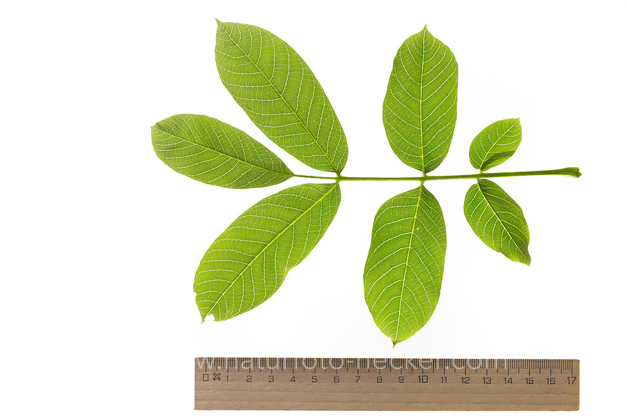 Walnuss, Walnuß, Wal-Nuss, Wal-Nuß, Juglans regia, Walnut, Noyer commun. Blatt, Blätter, leaf, leaves