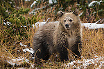 Grizzly bear cub. Yellowstone National Park, Wyoming.