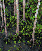 Mangrove Shoots<br />