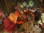 Dragon Gate Rock Reef (Long Men Yan Jiao), Green Island -- A red scorpionfish lying well camouflaged amongst some corals.
